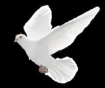 Die Bedeutung der Friedenstaube